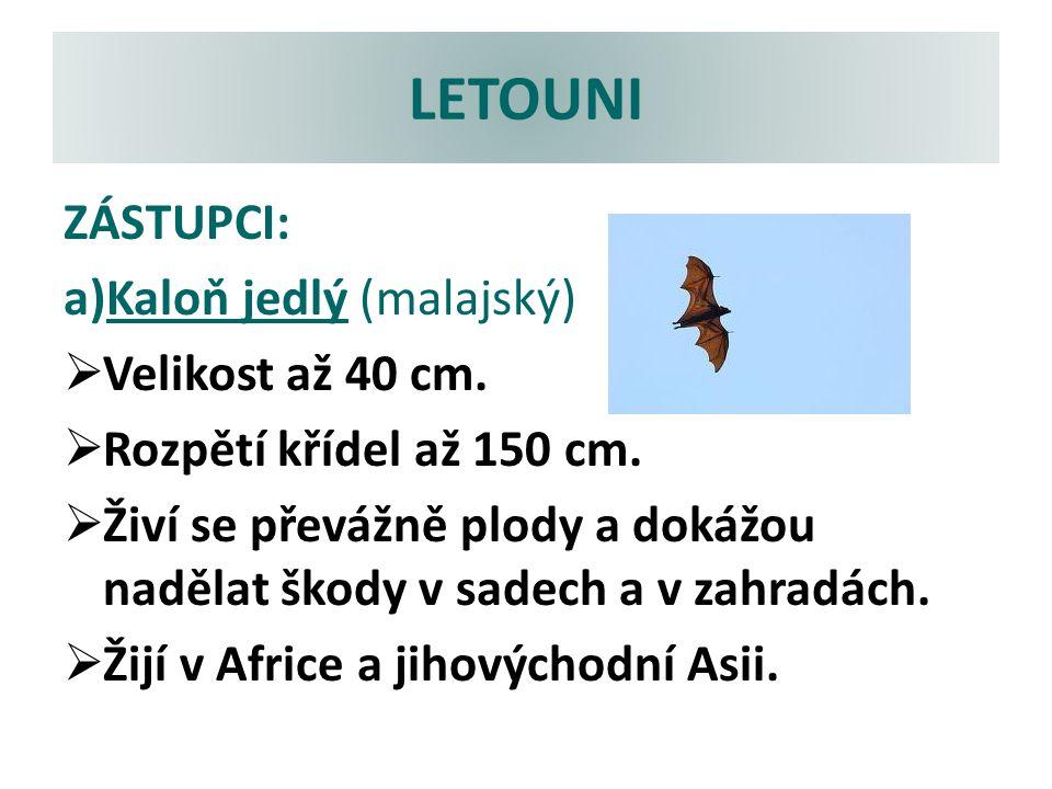 LETOUNI ZÁSTUPCI: Kaloň jedlý (malajský) Velikost až 40 cm.