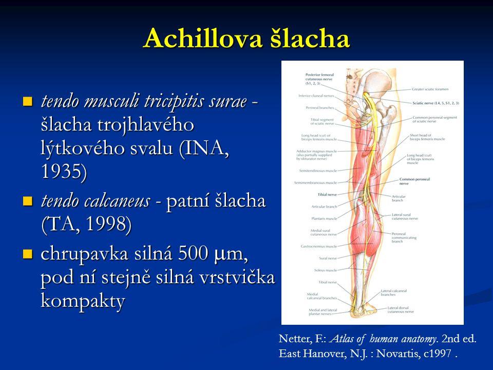 Achillova šlacha tendo musculi tricipitis surae - šlacha trojhlavého lýtkového svalu (INA, 1935) tendo calcaneus - patní šlacha (TA, 1998)