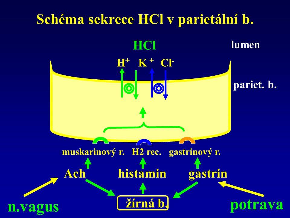 Schéma sekrece HCl v parietální b.