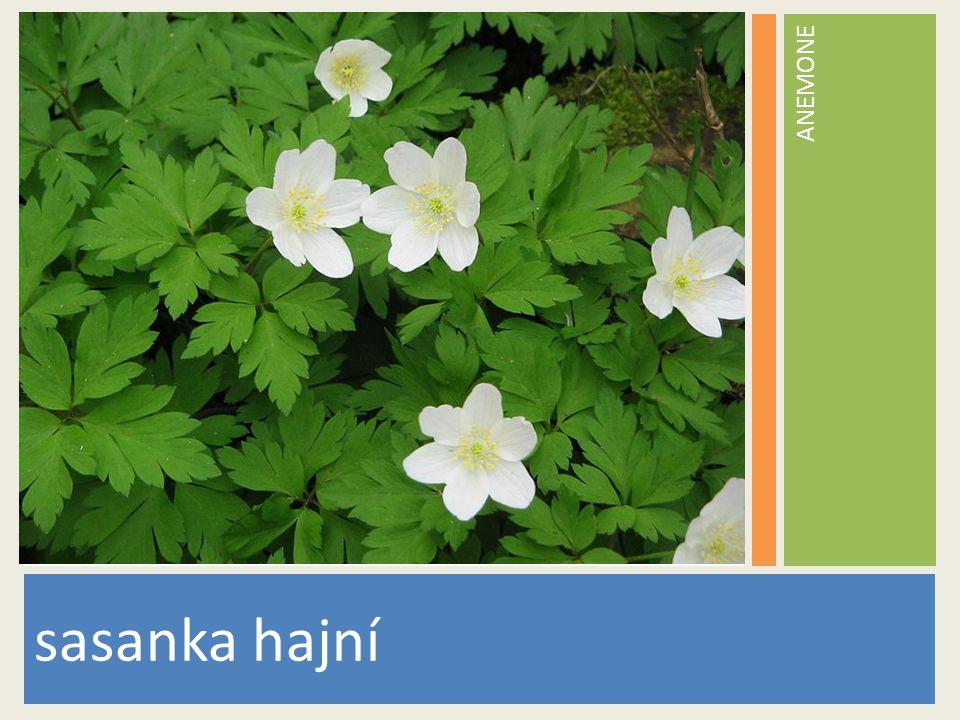 ANEMONE www.stockvault.net sasanka hajní