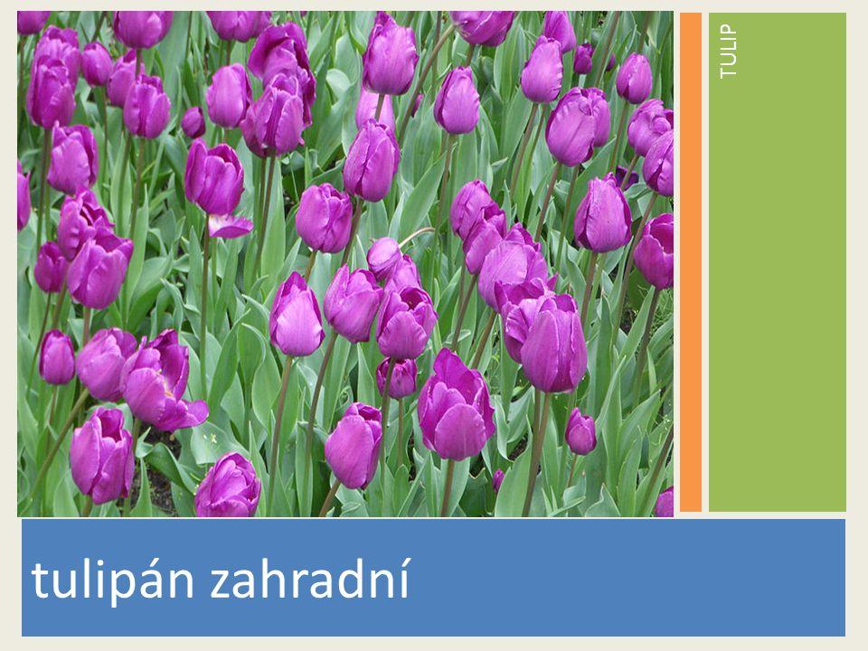 TULIP www.stockvault.net tulipán zahradní