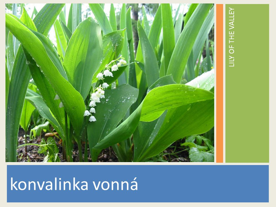 LILY OF THE VALLEY www.stockvault.net konvalinka vonná