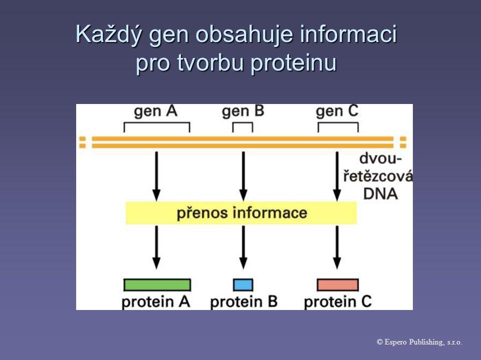 Každý gen obsahuje informaci pro tvorbu proteinu