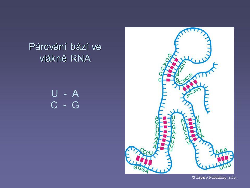Párování bází ve vlákně RNA U - A C - G