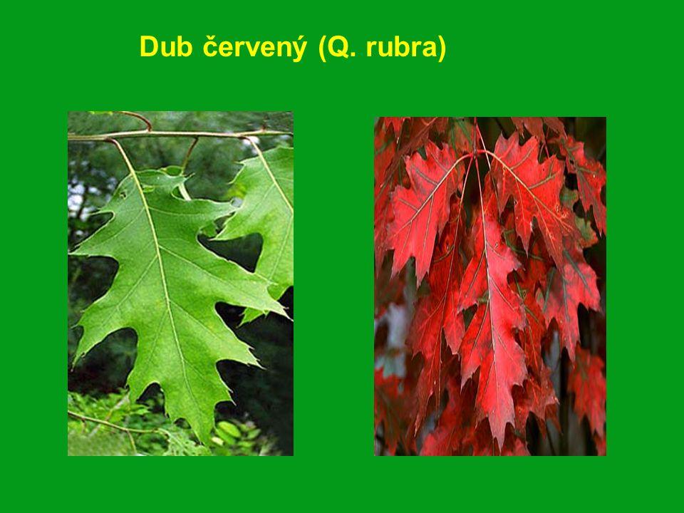Dub červený (Q. rubra)