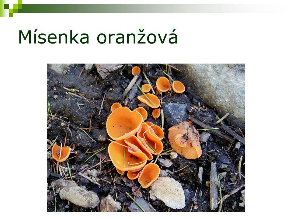 Mísenka oranžová