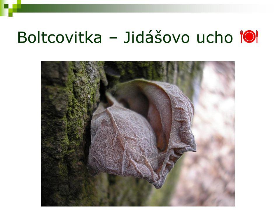 Boltcovitka – Jidášovo ucho 