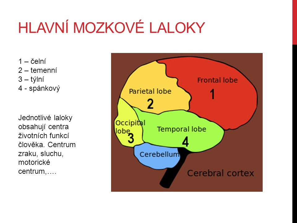 Hlavní mozkové laloky 1 – čelní 2 – temenní 3 – týlní 4 - spánkový