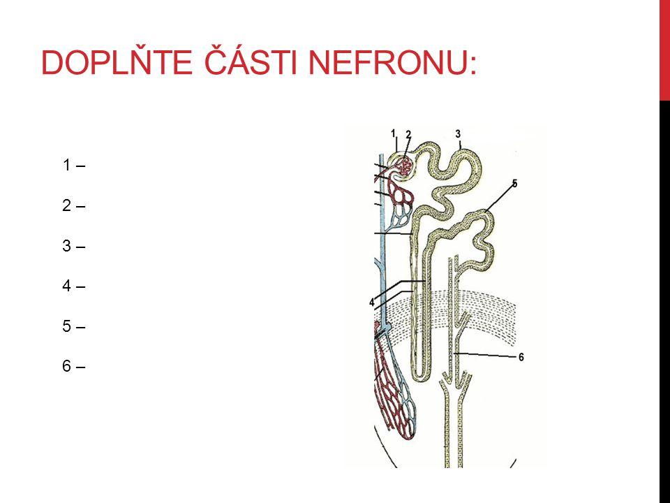 doplňte části nefronu: