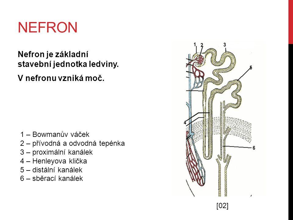 nefron Nefron je základní stavební jednotka ledviny. V nefronu vzniká moč. 1 – Bowmanův váček. 2 – přívodná a odvodná tepénka.