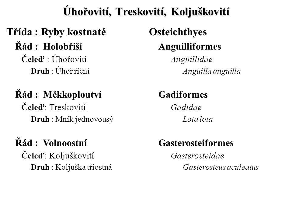 Úhořovití, Treskovití, Koljuškovití