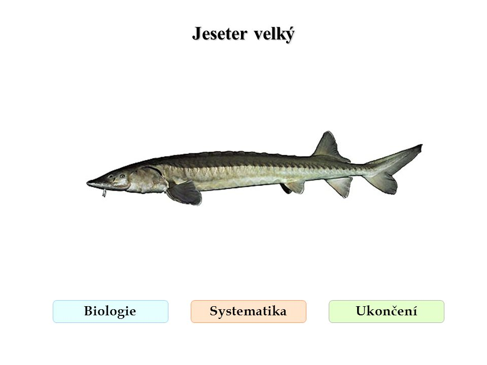 Jeseter velký Biologie Systematika Ukončení
