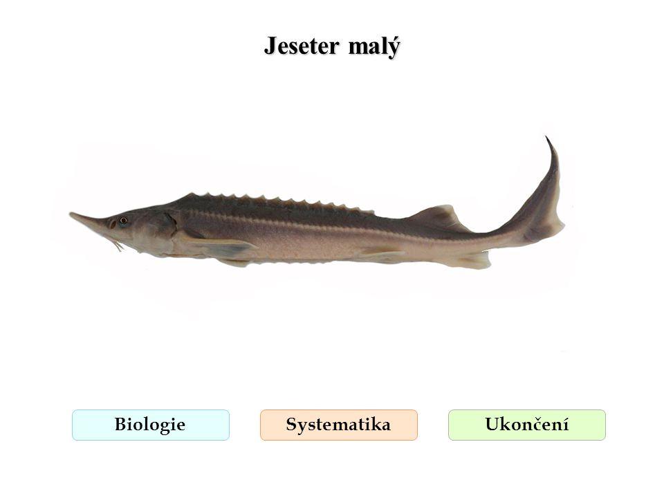 Jeseter malý Biologie Systematika Ukončení