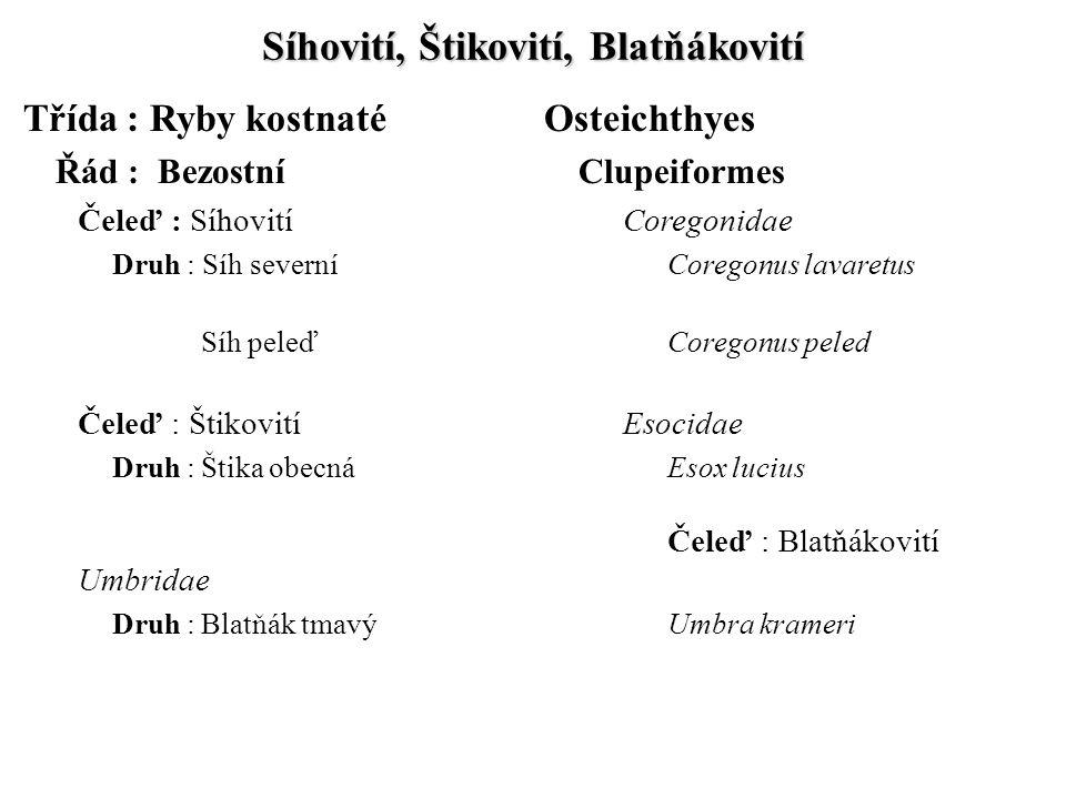 Síhovití, Štikovití, Blatňákovití