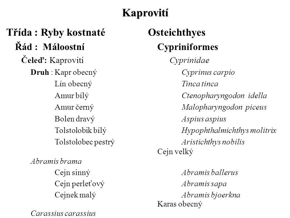 Kaprovití Čeleď: Kaprovití Cyprinidae