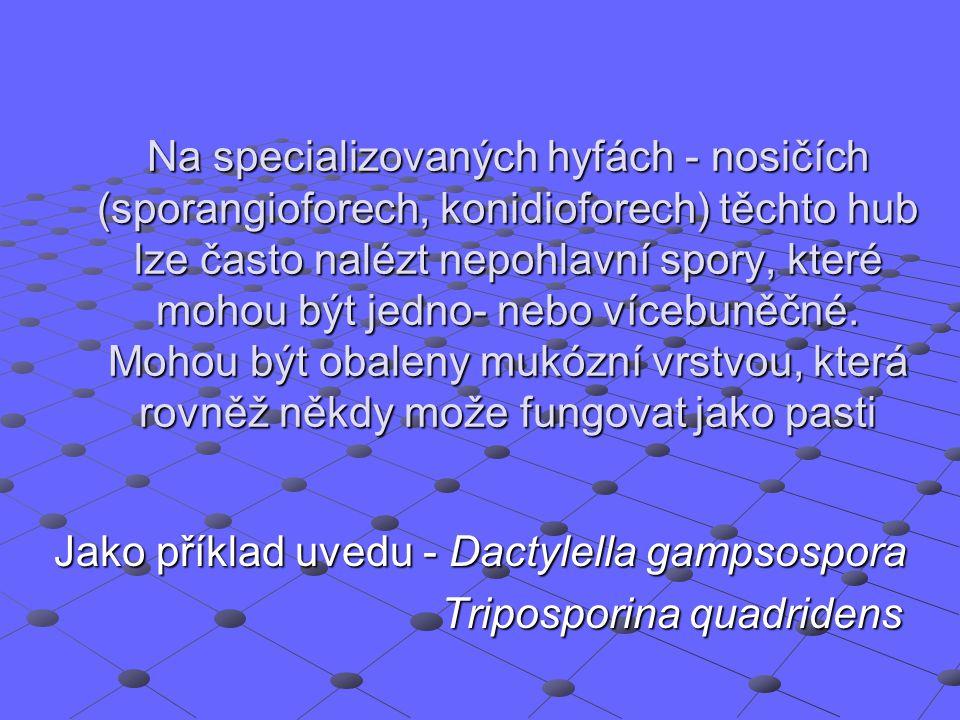 Jako příklad uvedu - Dactylella gampsospora Triposporina quadridens