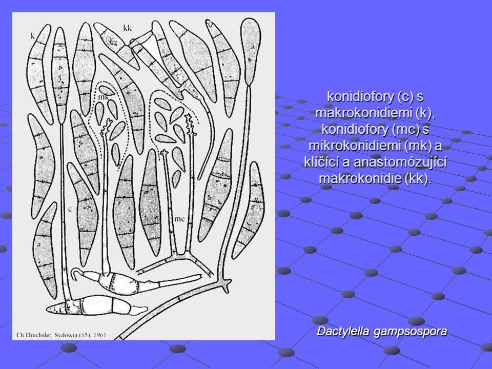Dactylella gampsospora