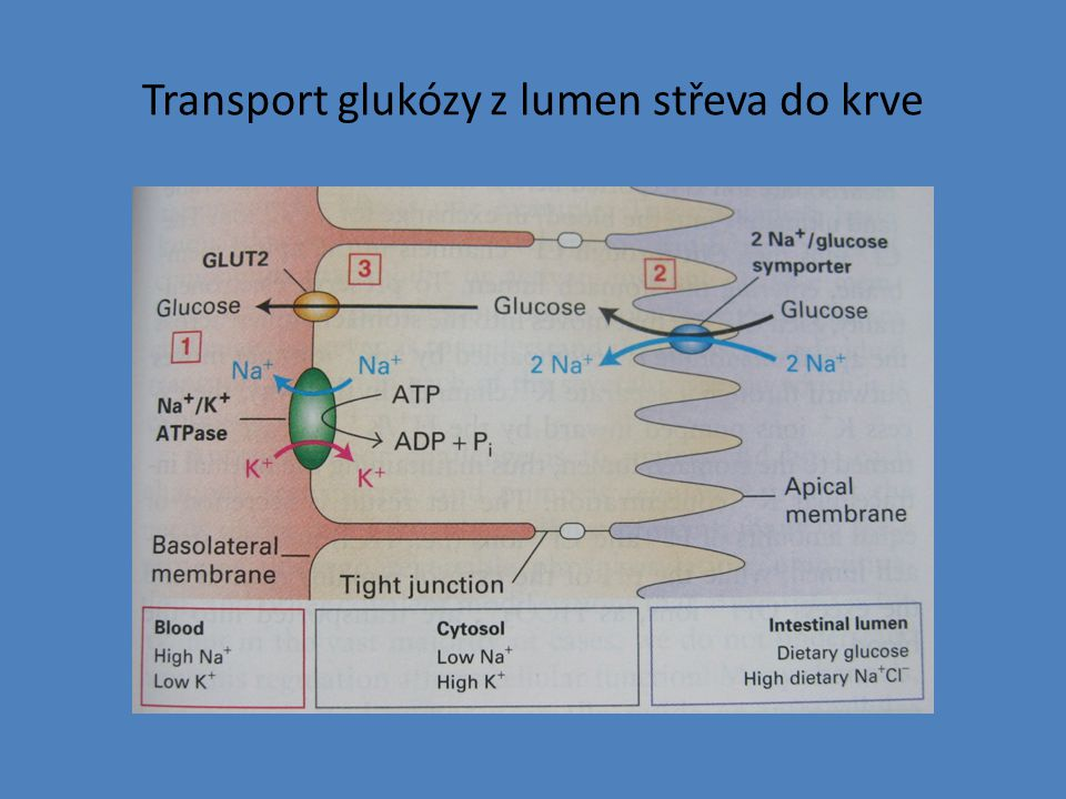 Transport glukózy z lumen střeva do krve