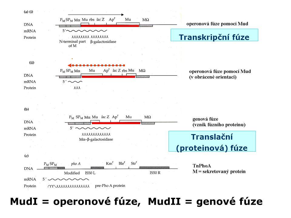 Translační (proteinová) fúze
