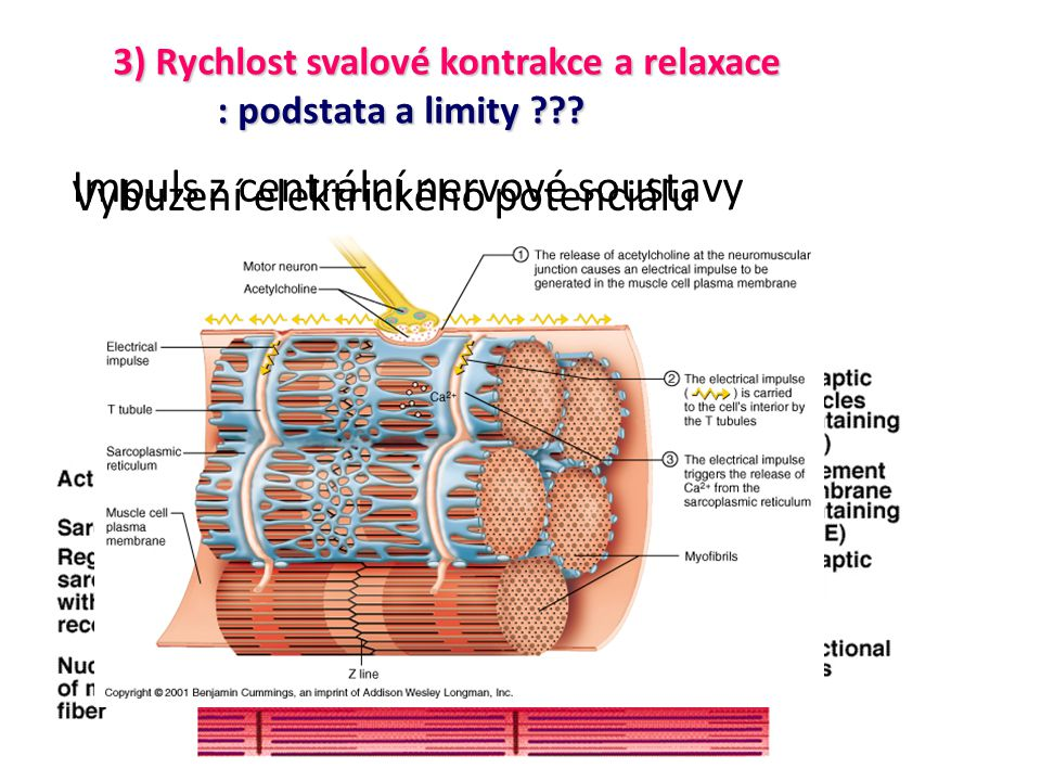 Impuls z centrální nervové soustavy Vybuzení elektrického potenciálu