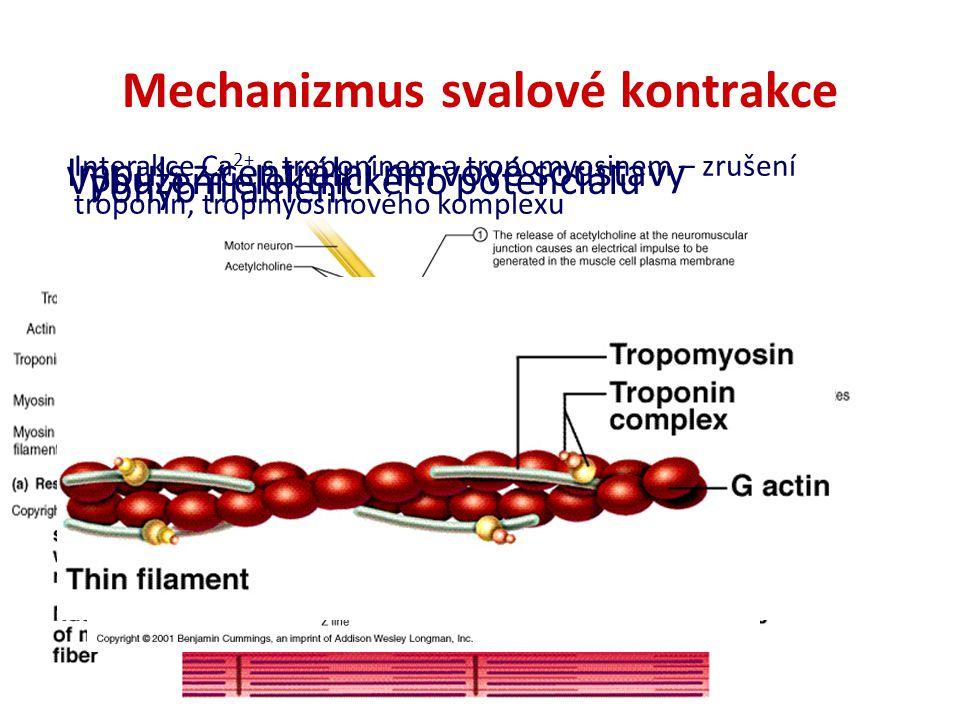 Mechanizmus svalové kontrakce