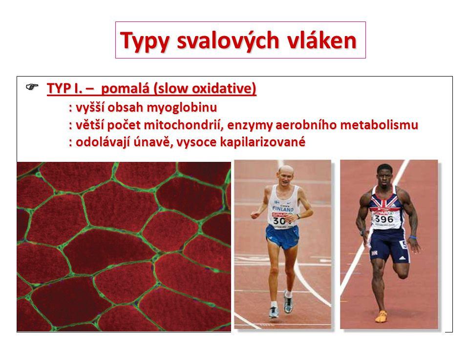 Typy svalových vláken  TYP I. – pomalá (slow oxidative)