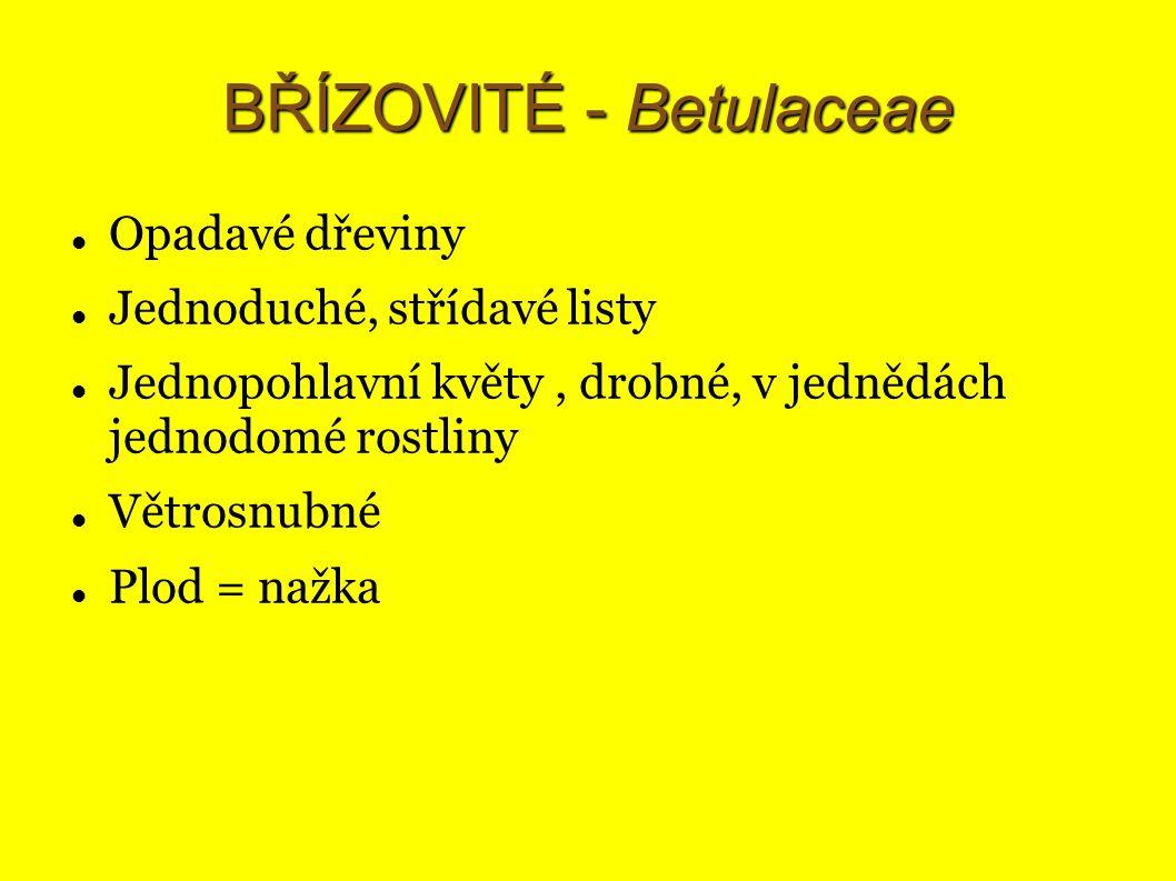 BŘÍZOVITÉ - Betulaceae