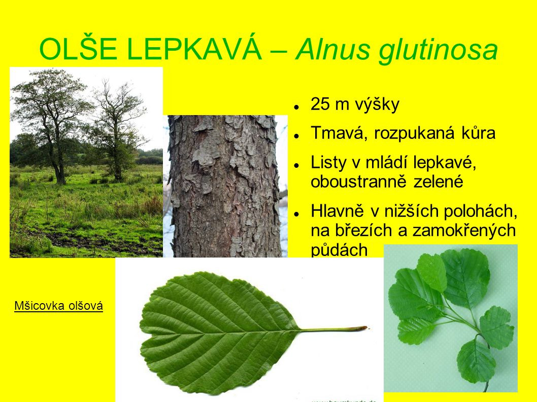 OLŠE LEPKAVÁ – Alnus glutinosa