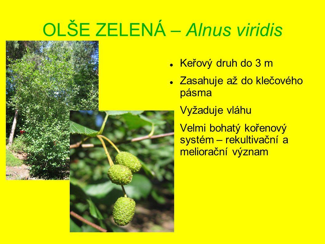 OLŠE ZELENÁ – Alnus viridis