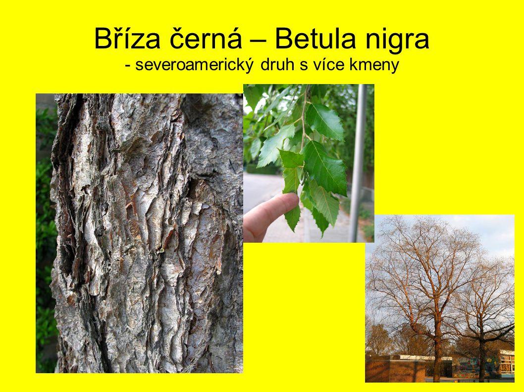 Bříza černá – Betula nigra - severoamerický druh s více kmeny