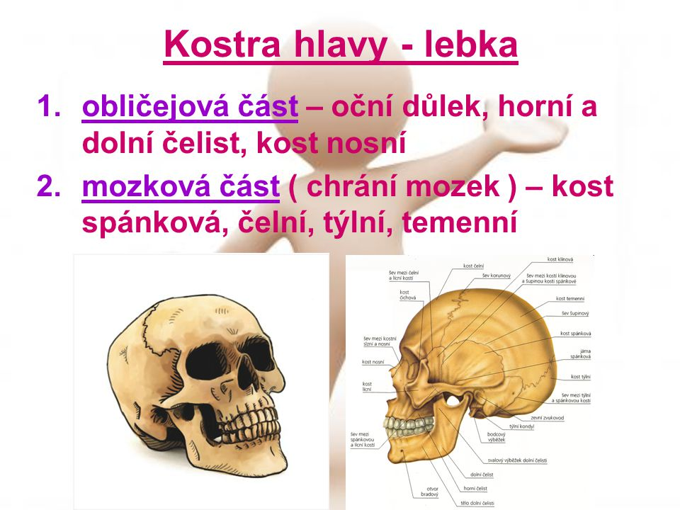 Kostra hlavy - lebka obličejová část – oční důlek, horní a dolní čelist, kost nosní.
