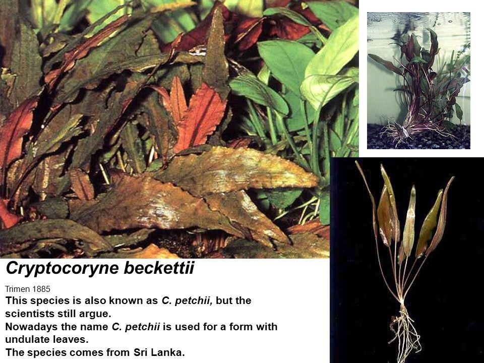 Cryptocoryne beckettii
