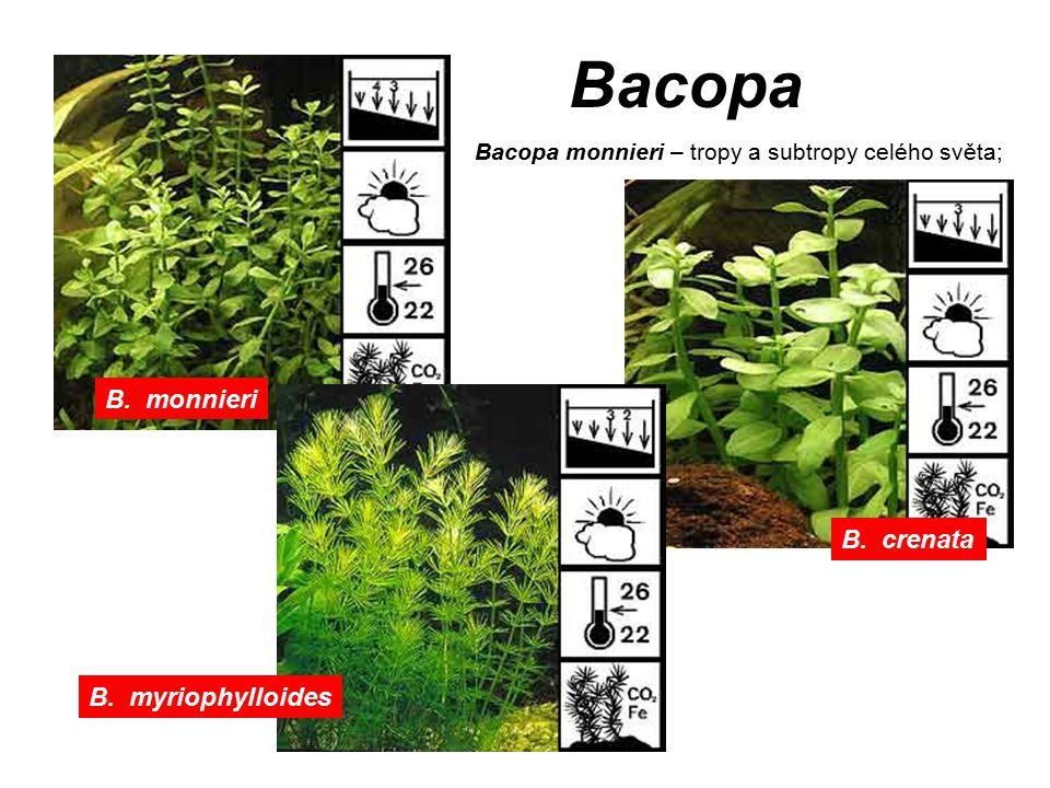 Bacopa B. monnieri B. crenata B. myriophylloides