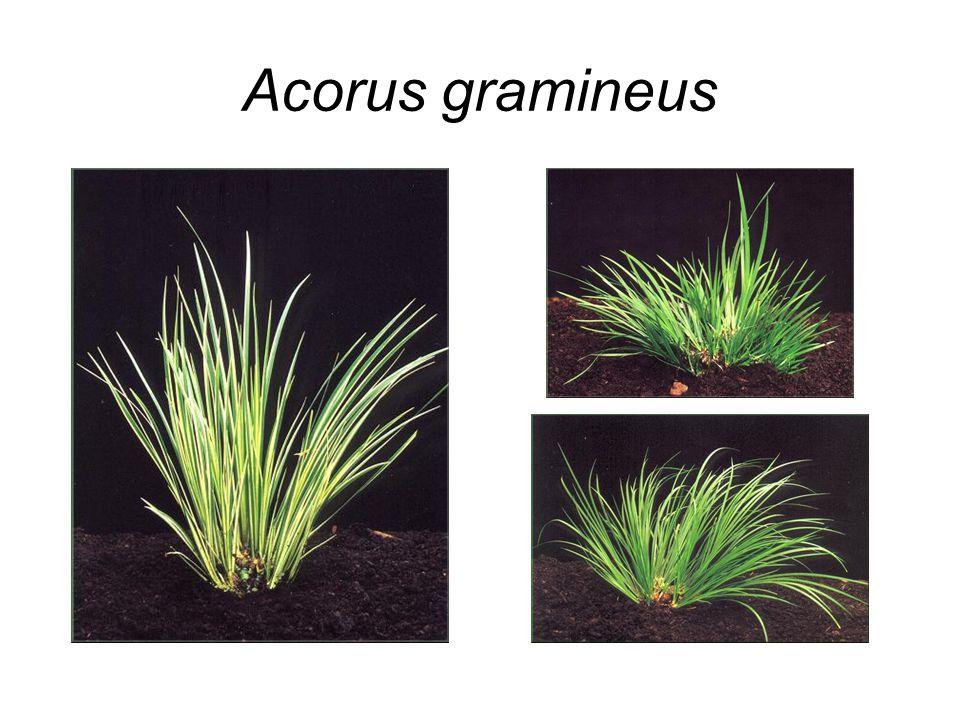 Acorus gramineus