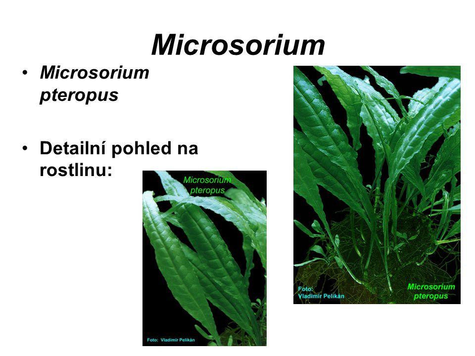 Microsorium Microsorium pteropus Detailní pohled na rostlinu: