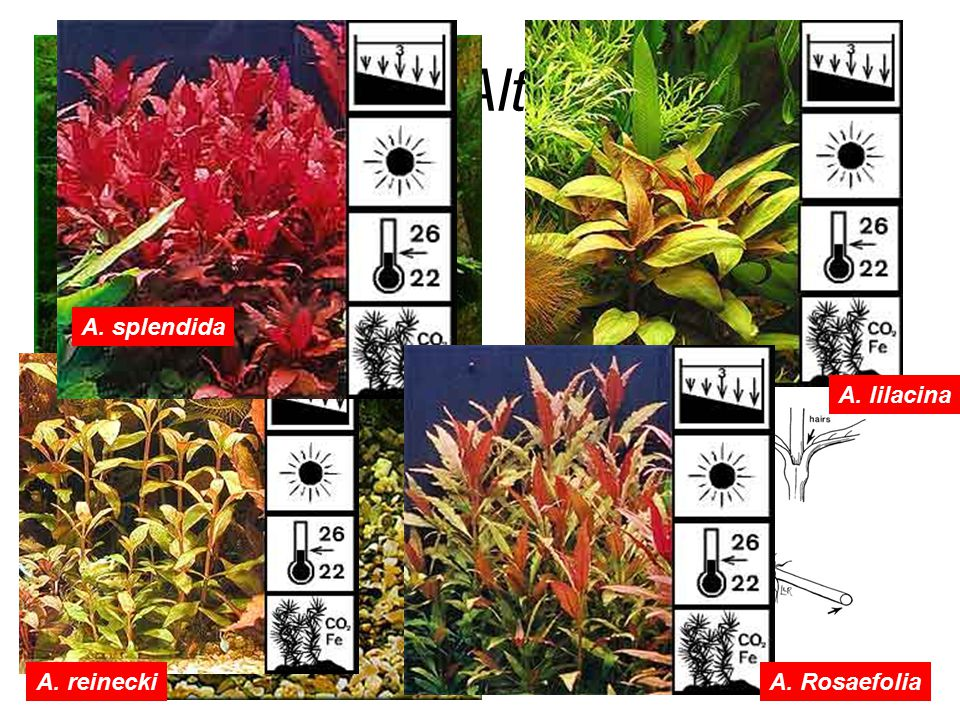 Alternathera A. splendida A. lilacina A. reinecki A. Rosaefolia