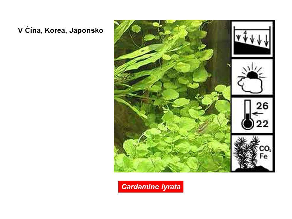 V Čína, Korea, Japonsko Cardamine lyrata
