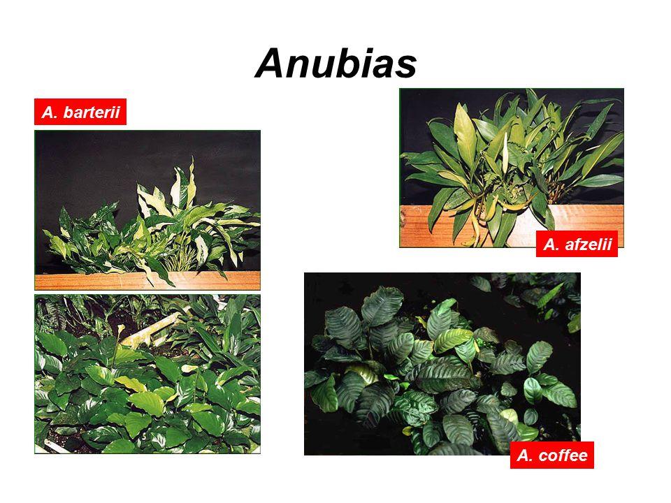 Anubias A. barterii A. afzelii A. coffee