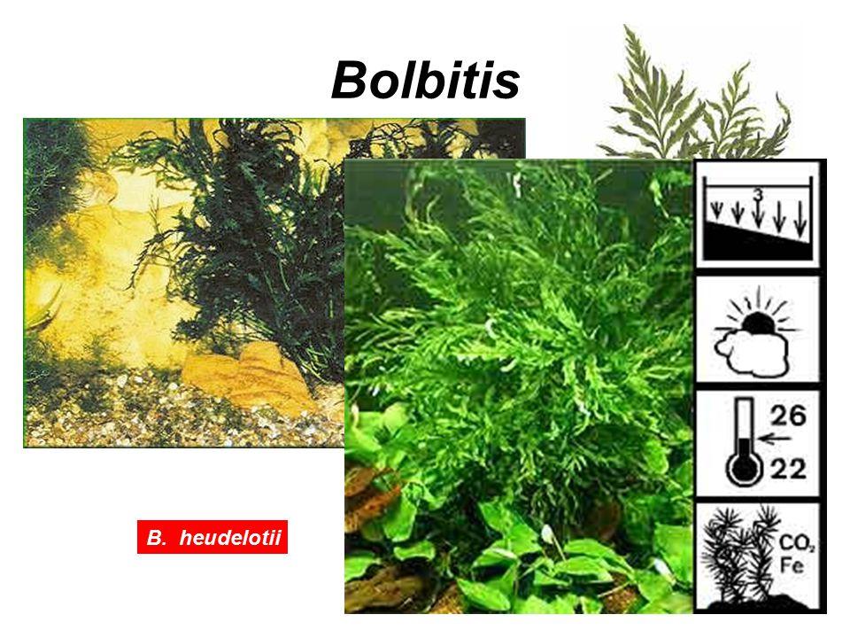 Bolbitis B. heudelotii