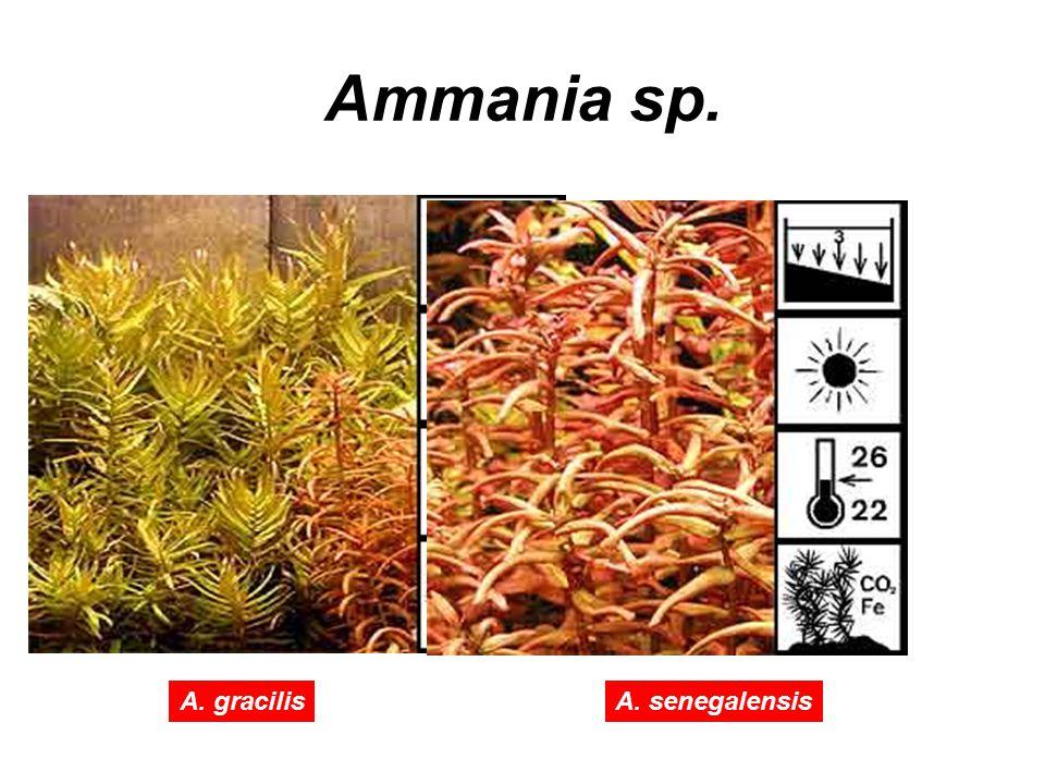 Ammania sp. A. gracilis A. senegalensis