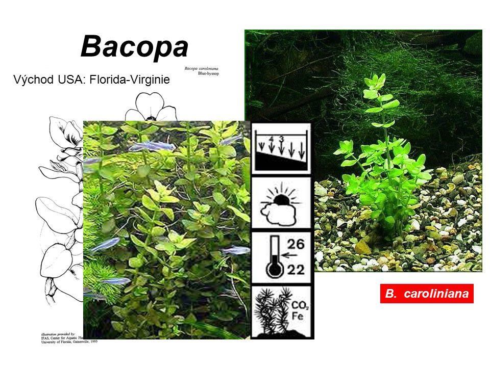 Bacopa Východ USA: Florida-Virginie B. caroliniana
