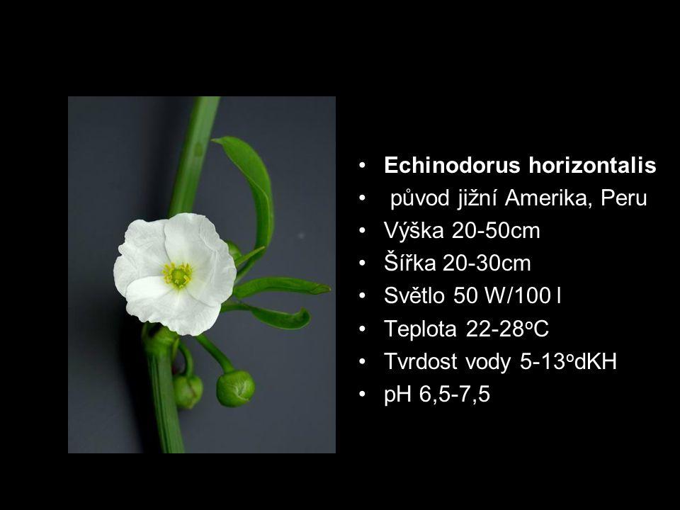 Echinodorus horizontalis