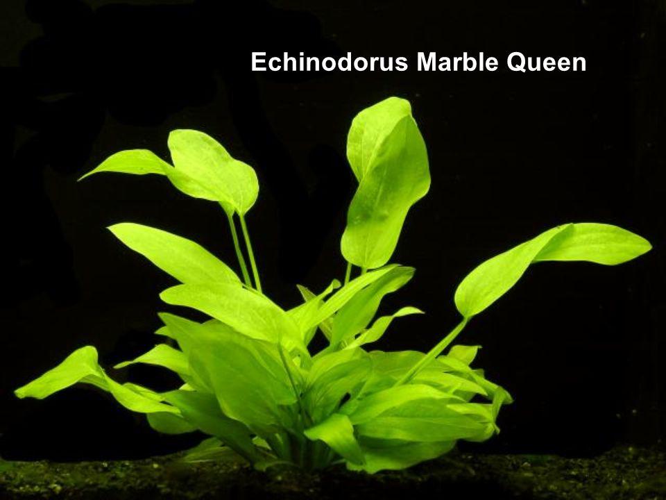 Echinodorus Marble Queen
