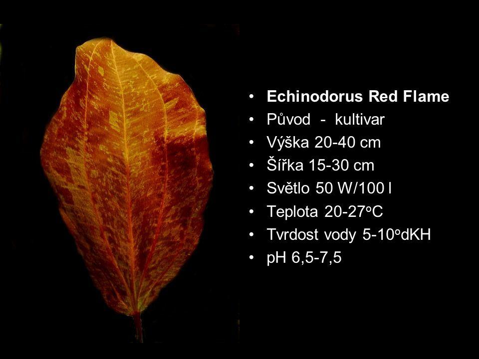 Echinodorus Red Flame Původ - kultivar. Výška 20-40 cm. Šířka 15-30 cm. Světlo 50 W/100 l. Teplota 20-27oC.