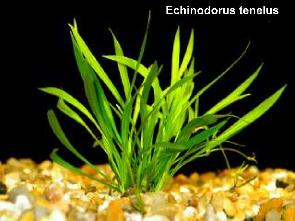 Echinodorus tenelus