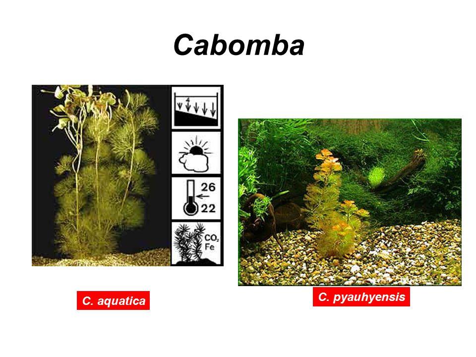Cabomba C. pyauhyensis C. aquatica