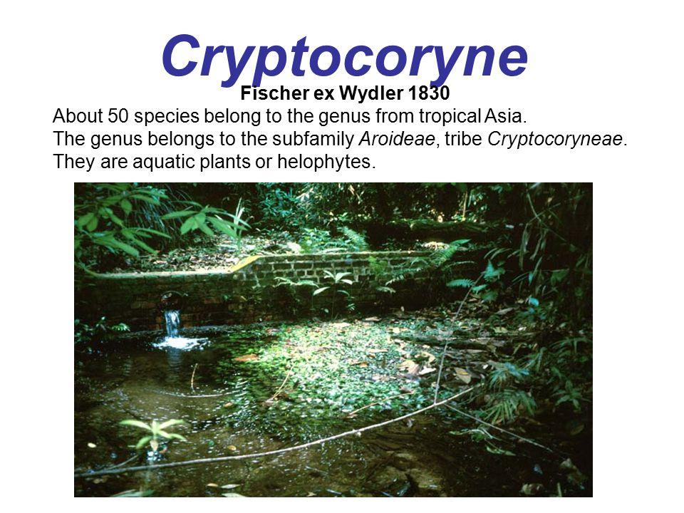 Cryptocoryne Fischer ex Wydler 1830