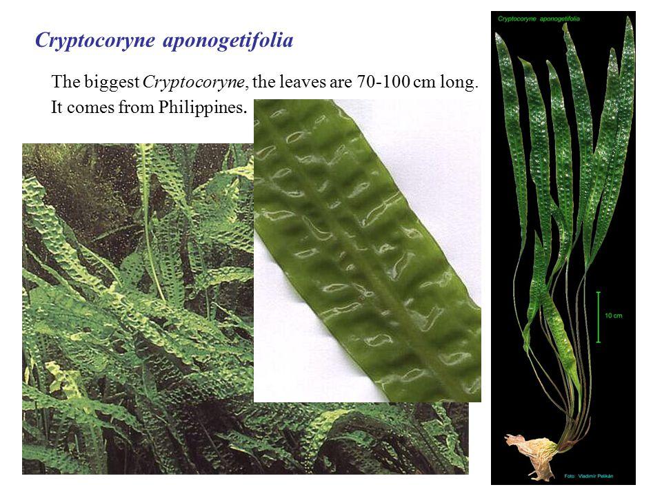 Cryptocoryne aponogetifolia