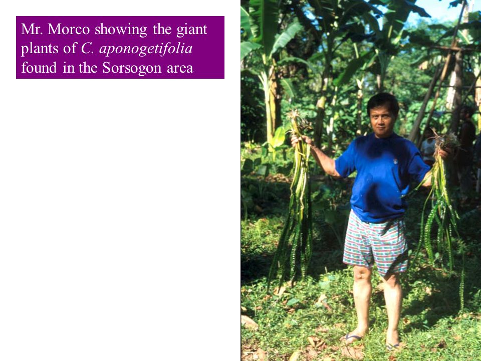 Mr. Morco showing the giant plants of C