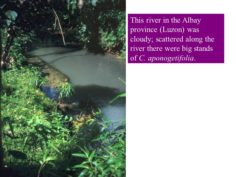 This river in the Albay province (Luzon) was cloudy; scattered along the river there were big stands of C.